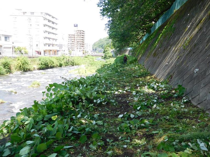 5月23日、千歳(ちとせ)川の土手の草刈りを行いました