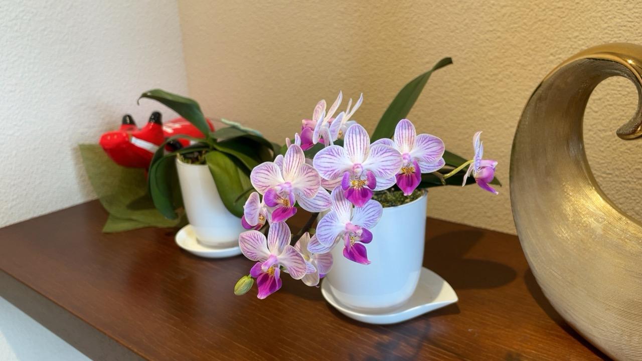 ミニ胡蝶蘭が咲きました