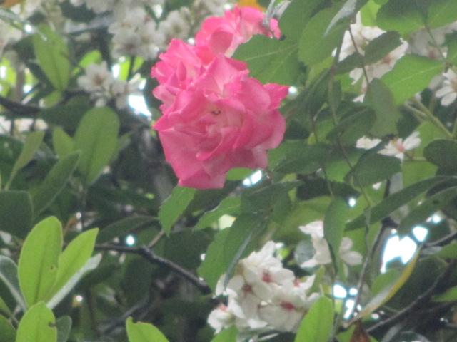 バラが咲いた~バラが咲いた~